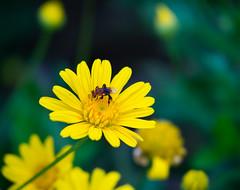 Busy , Bee-sy! (Dinozauw) Tags: trigonasp trigonabee bee insect flower macro nature yellowbushdaisy euryops closeup pollen bokeh dof stinglessbee yellow penanghill tamron14150mmf3558diiii wildlife petals depthoffield daisy flora outdoor plant penang malaysia bugs buzz