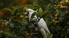 Sulphur Crested Cockatoo stealing loquats (tree.twisted) Tags: sulphurcrestedcockatoo birds parrots cockatoo wildandfree nature loquattree loquats stealing canon400mmf56lusm canberra 2016