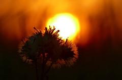 Ein Licht leuchtet auf...in der Dunkelheit... (Don Bello Photography) Tags: sommer sonne sonnenaufgang wattwiesen nordsee macro lichtundschatten licht morgenlicht morgenstimmung pov panasonicphotographer panasonicfz1000 lumixphotographer lumixfz1000 fz1000 norddeutschland northerngermany cuxhavenberensch dünenhof acdsee acdseeultimate10 reinhardbellmann donbello donbellophotography 50favorites 1000views 100favorites 2000views 3000views 150favorites 4000views