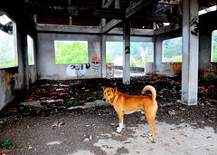 ,, Rocky ,, (Jon in Thailand) Tags: pigeonpoop pigeon guano thedogpalace rocky roof nikon nikkor d300 pigeonguano jungle 175528 k9 dog happydog mrrocky rain monsoon downpour tail ears smile paws whitesox aliens graffiti trees abandonedbuilding decayingbuilding decayedbuilding littledoglaughedstories