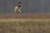 R17_7086 (ronald groenendijk) Tags: cronaldgroenendijk 2017 asioflammeus rgflickrrg animal bird birds birdsofprey groenendijk nature natuur natuurfotografie outdoor owl owls ronaldgroenendijk roofvogels shortearedowl velduil vogel wildlife