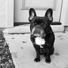 Begging (Lainey1) Tags: oz ozzy dog frenchie bulldog lainey1 elainedudzinski frogdog zendog frenchbulldog ozzythefrenchie leica leicadlux4 bw monochrome