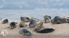 Harbor Seals of Sandy Hook | 2017 - 1 (RGL_Photography) Tags: commonseal gatewaynationalrecreationarea harborseal herdofseals jerseyshore marinemammals monmouthcounty navesinkriver nikonafs600mmf4gedvr nikond500 nikontc14eiii phocavitulina pinniped sandyhook seal spermaceticove wildlife wildlifephotography highlands newjersey unitedstates us haulout