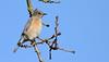 Western Blue Bird (female) (andrewj1882) Tags: western bluebird sialia mexicana
