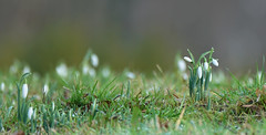 First signs... (SteveJM2009) Tags: snowdrops grass woodland low buds dof focus bokeh pov light colour kingstonlacy dorset uk january 2017 winter stevemaskell naturethroughthelens