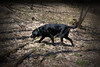 Jack and shadows (salmonsalmon) Tags: labrador retriever black shadows branches leaves woods forest barrie ontario canada