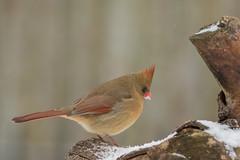 Thinking of Warmer Days ... (Ken Krach Photography) Tags: cardinal