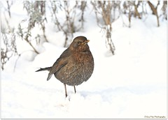 auf Futtersuche.... (mayflower31) Tags: winter schnee snow amsel vogel bird blackbird