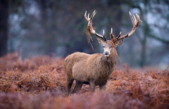 Prince Of The Park (benstaceyphotography) Tags: richmond park london red deer stag antlers imposing proud magnificent male nature flat light nikon wildlife d800e fern f4 500mm fullframe camouflage