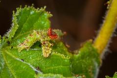DSC_0109.jpg (hankplank) Tags: caribbean majorsbay stkitts lesserantilles geometridmoth geometridae insect lepidoptera moth synchlora