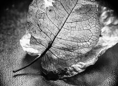 Sepal of a bougainvillea (LSydney) Tags: leaf sepal bw blackandwhite macro macromondays