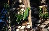 Lilac Crowned Amazon Parrot, Shelter Island, San Diego, CA (SomePhotosTakenByMe) Tags: california city vacation usa tree bird animal america island unitedstates sandiego urlaub parrot palm insel stadt amerika palme baum shelterisland tier vogel kalifornien amazonparrot papagai lilacrownedamazonparrot amazonenpapagai