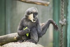2015-05-23-10h29m59.BL7R8136 (A.J. Haverkamp) Tags: zoo czechrepublic dierentuin liberec tsjechi tsjechie whitecheekedgibbon witwanggibbon canonef100400mmf4556lisusmlens liberecregion httpwwwzoolibereccz