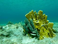 Shallow waters (ramosblancor) Tags: naturaleza fish nature coral peces cuba tropical esponja marinelife marcaribe underwaterphotography maríalagorda spong vidamarina caribeansea shallowwaters aguassomeras fotografíasubacuática