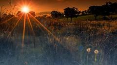 Dandelions Dusk (UglyTog) Tags: sunset landscape dandelions cowra centralwestnsw