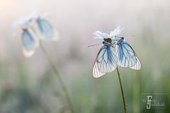 Black veined white / groot geaderde witjes (Judith_Borremans) Tags: white black flower macro closeup butterfly daisy vlinder veined viroin