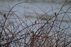 White-throated Sparrows (jd.willson) Tags: birds island bay birding maine jd penobscot willson islesboro jdwillson