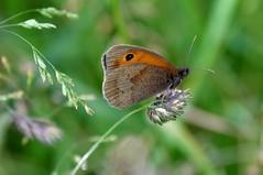 Gatekeeper, on the banks of River Hull (cdwpix) Tags: summer grass river hull gatekeeper hempholme