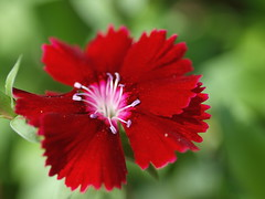 red & green-EXPLORE #462 07/07/15 (Kazooze) Tags: flower macro nature garden bokeh explore flowerpot dianthus redgreen diamondclassphotographer flickrdiamond