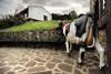 ANIZ-Jauregia-Esnekiak (ikimilikili-klik) Tags: cow 1735mmf28d euskalherria basquecountry navarre vaca navarra nafarroa behia quesería baztan aniz nikkor1735mm d3s esnekia nikond3s