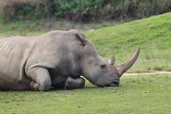 Snoozing Southern White Rhino (KENO Photography) Tags: travel game tourism nature animal mammal zoo skin african wildlife ears endangered horn rhinoceros rhinobrowser