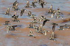 Sandpipers (20150801-123416-PJG) (DrgnMastr) Tags: fb cropped sandpipers coth naturesgallery brilliantnature avianexcellence eiap sacrednature awesomebirds naturesspirit damniwishidtakenthat dmslair sunshinegroup grouptags wonderfulfragileworld allrightsreserveddrgnmastrpjg pjgergelyallrightsreserved