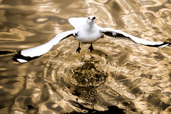 Seagull jumps to the sky (jack-sooksan) Tags: bird water up gold golden fly jump seagull gull air go wing feather wave forward