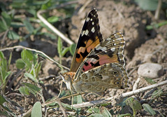 () / Vanessa cardui / Painted Lady /    / Distelfalter (katunchik) Tags: nymphalidae  butterfly  schmetterling   bulgaria bulgarien bulharsko insect taxonomy:family=nymphalidae taxonomy:subfamily=nymphalinae taxonomy:binomial=vanessacardui geo:country=bulgaria