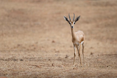 Young Antilope (aminefassi) Tags: nature animal canon de morocco maroc antelope 5d gazelle antilope rabat cuvier ef70200mmf28 temara gazellacuvieri aminefassi zoodetemara