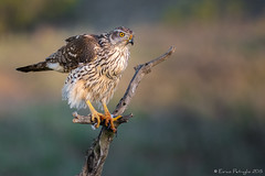 Autour des palombes (DorianHunt) Tags: birds bokeh northerngoshawk spain april 2015 wwwbirdinginspaincom nikond7200 300mm birdsofprey