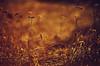 Eine Blumenwiese ist eine Blumenwiese. Altersdiskriminierung liegt mir genauso fern, wie nicht drinzuliegen. (Manuela Salzinger) Tags: winter schwarzwald blackforest morgen morning wiese meadow blume flower verwelkt withered sonnenaufgang sunrise