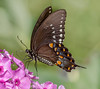 Black Swallowtail (tresed47) Tags: 2014 201408aug 20140815chestercountymisc blackswallowtail butterflies canon7d chestercounty content folder insects pennsylvania peterscamera petersphotos places springtonmanor swallowtail takenby us ngc npc