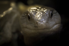 Basilisk (gina.nicole.tesloff) Tags: basilisk zoology lizard macro bright white reptile wildlife enchanting exotic eye reflection texture ominous pattern artistic animal detail delicate dark depth glow graceful grey jurassic light life canon contrast looking beautiful nature natural
