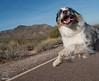 50/52 Road Runner, Road Runner, Runnin' Down the Road All Day (Jasper's Human) Tags: 52weeksfordogs run dog australianshepherd aussie