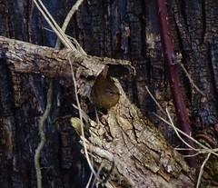 Pacific Wren--Troglodytes pacificus (Polioptila caerulea) Tags: pacificwren wren songbird passerine troglodytespacificus troglodytes baileyrd fortdick delnortecounty california pawr