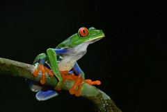Red-eyed tree frog (anacm.silva) Tags: redeyedtreefrog frog rã wild wildlife nature natureza naturaleza costarica lowlands cope centralamerica sarapiqui anfíbio