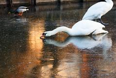 Swans and reflections on a golden frozen pond - 2017 (Wilma v H- Back from Beara in Ireland! Behind!) Tags: swans zwanen sunrise reflections birds frozen vriezen winterscenics winter ponds waterscapes dawn crackofdawn goldenhour gold luminositymasks tkv5panelforphotoshopcc animals dordrecht nederland netherlands canoneos60d
