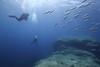 Divers with school Bluefisch (Pomatomus saltatrix). Sub ammirano i pesci Serra (Pomatomus saltatrix). (omar.flumignan) Tags: bluefish pesci serra sub dive diver immersione underwater sottacqua sea mare mediterraneo mediterranean lampedusa italia italy isola island roccia rock holiday vacanza canon g7xmk2 fantasea fg7xmk2 wideangle grandangolo allnaturesparadise flickrtravelaward