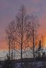 Sunset Christmas Eve (atranswe) Tags: dsc2978 sweden sverige västernorrland ångermanland väja latn62°5818lone17°427sunsetchristmas evegrannskapneighborhoodlatn62°5818lone17°427birchbjörkgransprucewintermiddayeftermiddagsnowsnöbrant backe hill ute outdoor tree trees träd plant atranswe