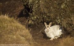 Mountain Hare (Alastair Marsh Photography) Tags: hare mountainhare hares mountainhares peakdistrict peakdistrictnationalpark nationalpark peat heather moorland derbyshire mammal mammals britishwildlife britishanimals britishanimal wildlife animal animals animalsintheirlandscape fur