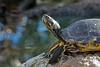 Enjoy the sun (herman hengelo) Tags: oceanogràfic valencia spain spanje schildpad turtle