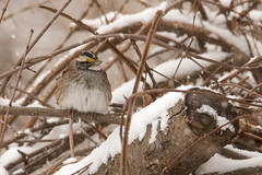 White-throated Sparrow (mattbpics) Tags: nature bird whitethroatedsparrow tamron 150600 150600mm canon 70d snow