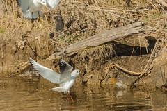 ATTERRAGGIO   ---   LANDING    ----    EXPLORE (cune1) Tags: uccelli birds natura nature acqua water mare sea italia italy lazio salineditarquinia