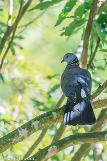Andaman Wood Pigeon -Explore*