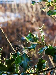 Dégel (Agnès Laure) Tags: houx arbustre feuille persistant rustique vert goutte eclaboussure eau exterieur dégel froid hiver couleur plante lapalisse france départementdelallier régionauvergne panasoniclumixgx80 nature