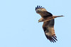 Milan noir (Milvus migrans) (yann.dimauro) Tags: fr france nb animal extérieur faune givors oiseau ornithologie rhone rhônealpes yanndimauro
