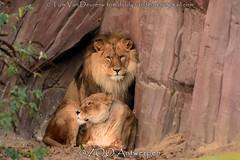 Afrikaanse leeuw - Panthera leo leo - African Lion (MrTDiddy) Tags: afrikaanse leeuw panthera leo african lion feline zoogdier mammal bigcat big cat grotekat grote kat nestor caitlyn zooantwerpen zoo antwerpen antwerp