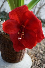 Red Amaryllis (mohsenil@ymail.com1) Tags: leaves green winter flower macro red amaryllis