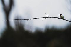 Hummingbird at rest (kylebagleyphotos) Tags: nature bird hummingbird wild wildlife wilderness branch tree dark wet pnw hike telephoto rest sigma nikon zoom