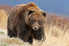 Beautiful Brown Bear Heading For A Nap In The Alders (AlaskaFreezeFrame) Tags: grizzly brownbear grizzlybear bears bruin alaska alaskafreezeframe outdoors wildlife nature dangerous ursusarctoshorriblis mammal carnivore omnivore meadow grass fall claws canon telephoto powerful beautiful magnificent